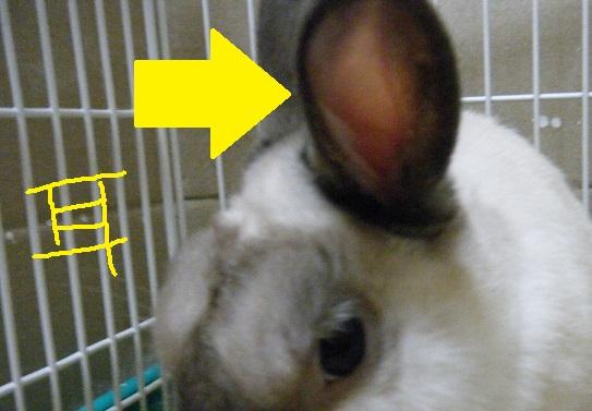 ロップイヤーラビット(垂れ耳うさぎ)の暑さ対策~耳のお手入れ忘れに注意~